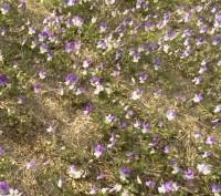 Styvmorsvioler på Bageriberget i Saltsjöqvarn, Nacka