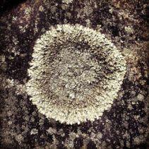 Lav på klippa i Trolldalen i Nacka