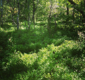 Blåbärsris i skogen Trolldalen mellan Henriksdalsringen, Finnboda och Svindersviken
