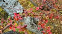 Berberis i skogen Trolldalen mellan Henriksdalsringen, Finnboda och Svindersviken - Danvikstull