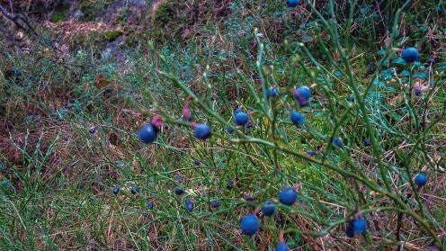 Blåbär i skogen Trolldalen mellan Henriksdalsringen, Finnboda och Svindersviken - Danvikstull