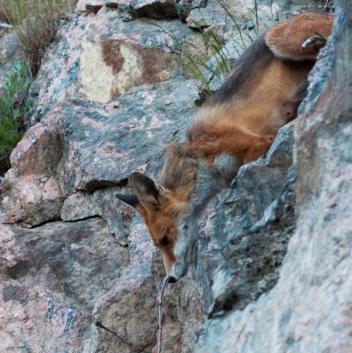 Rödräv på väg ner i Trolldalen (bild: annasnatur.se)