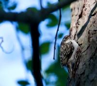 Trädkrypare i skogen Trolldalen i Nacka