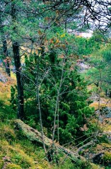 Enbärsträd i Trolldalen på Henriksdalsberget