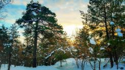 Snötäckta tallar i Trolldalen