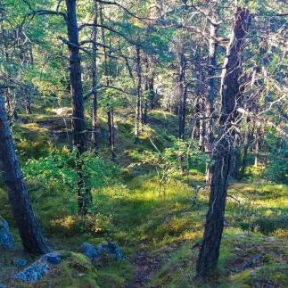 Tallar, blåbärsris och torrakor i slänten mot Finnboda i Trolldalen, Nacka