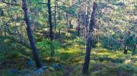 Tallar i skogen Trolldalen i Nacka