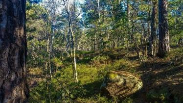 Blåbärsriset bland tallar och ekar i Trolldalen (vår)