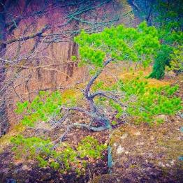 Bonsaiinspirerat tallträd