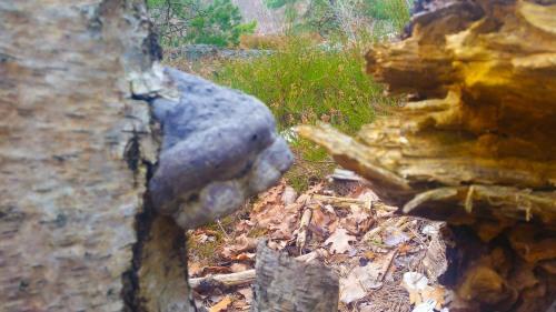 Fnösktickan i skogen Trolldalen i Nacka