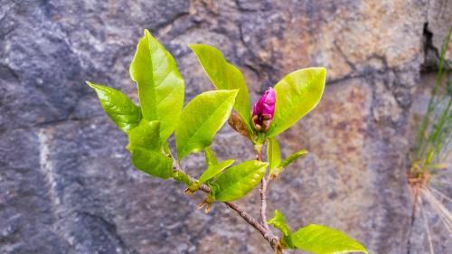 Tora Dahls magnolia i Henriksdal
