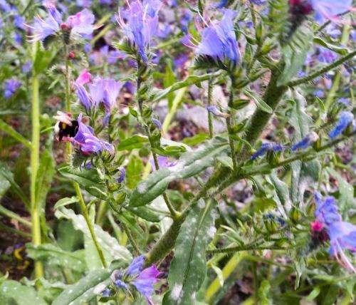 En humla samla nektar i blommorna som växer vid vägen mot Svindersviksbron