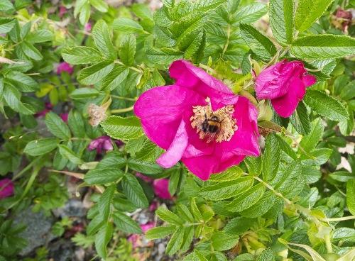 En humla i en vild ros på Kvarnholmen i Nacka