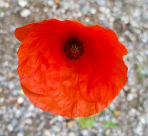 Vild vallmo blommar vid vägen på Kvarnholmen