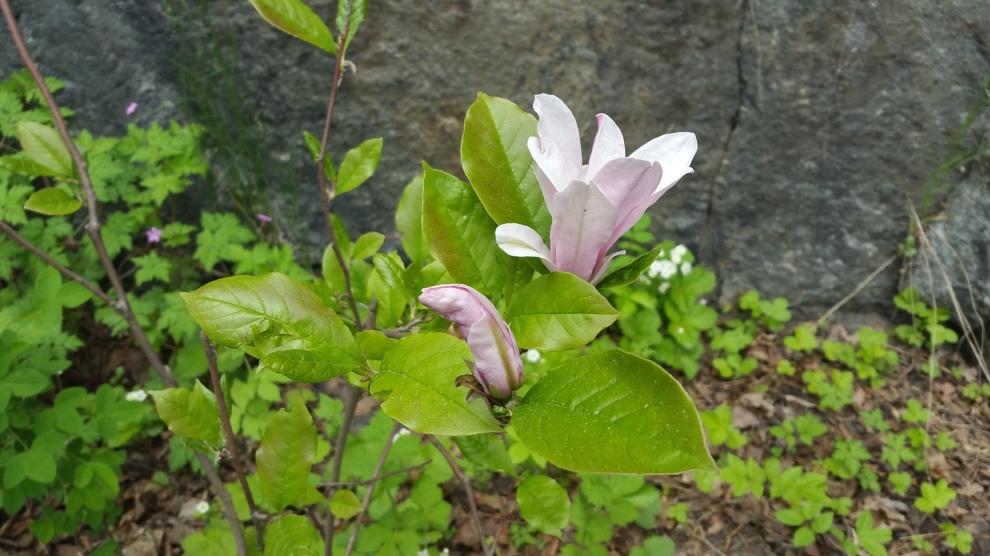 Tora Dahls magnolia vid Vilans skola i Nacka