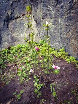Tora Dahls magnolia